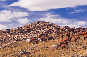 Herd of goats and horses. Backcountry of Mongolia.  -  Jeff Foott