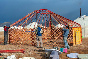 Assembling a ger (Yurt) at the Eagle Hunters festival near Ulgii Western Mongolia.  -  Jeff Foott