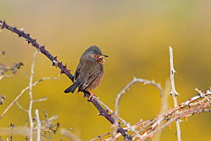 Dartford warbler (Sylvia undata) perched on Bramble. Suffolk, England, UK. March.  -  Robin Chittenden
