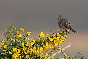 Dartford warbler (Sylvia undata) perched on Gorse (Ulex sp) branch. Suffolk, England, UK. March.  -  Robin Chittenden
