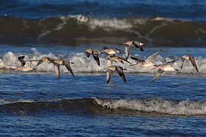 Bar-tailed godwit (Limosa lapponica) flock in flight over coastal waters. Norfolk, England, UK. November.  -  Robin Chittenden