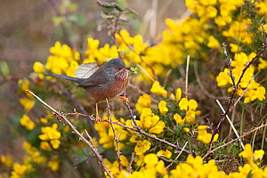 Dartford warbler (Sylvia undata) amongst Gorse (Ulex sp). Suffolk, England, UK. March.  -  Robin Chittenden
