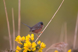 Dartford warbler (Sylvia undata) perched on stem beside Gorse (Ulex sp) flowers. Suffolk, England, UK. March.  -  Robin Chittenden