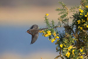 Dartford warbler (Sylvia undata) taking off from Gorse (Ulex sp). Suffolk, England, UK. March.  -  Robin Chittenden