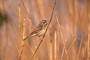 Reed bunting (Emberiza schoeniclus) perched on reed. Suffolk, England, UK. February.  -  Robin Chittenden