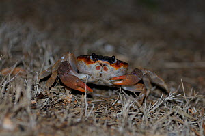 Black land crab (Gecarcinus ruricola) at night, San Andres island, Caribbean Colombia.  -  David Perpinan