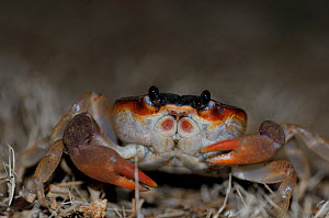 Black land crab (Gecarcinus ruricola) at night in San Andres island, Colombia.  -  David Perpinan
