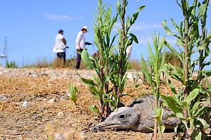 Audouin's gull (Larus audouinii), Chick on its nest, Alert behaviour resting flat and immobile while researchers ring chicks of a nearby nest, Tarratgona, Spain, June.  -  David Perpinan