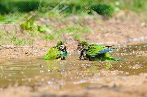 Monk parakeet (Myiopsitta monachus), two individuals having a bath in a city park, Note they are identified for a study with medals, as they tend to destroy leg rings, Barcelona, Spain, May.  -  David Perpinan