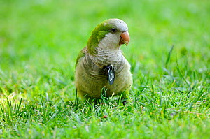 Monk parakeet (Myopsitta monachus), Introduced and well established species in many Spanish cities, This individual is eating grass, Note it is identify with a medal for a study, as they tend to destr...  -  David Perpinan