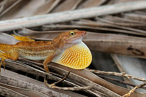 San Andres anole (Anolis concolor) male displaying extending their dewlap, San Andres island, Caribbean, Colombia, September 2019  -  David Perpinan