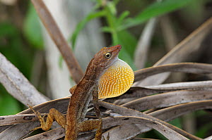 San Andres anole (Anolis concolor) male displaying by extending his dewlap, San Andres island, Caribbean Colombia,  -  David Perpinan