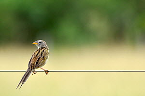 Wedge-tailed grassfinch (Emberizoides herbicola) on a fence, Pantanal, Mato Grosso do Sul, Brazil,  -  David Perpinan