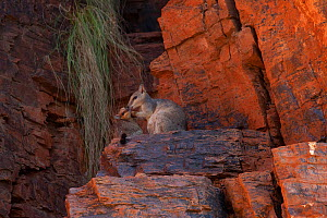 Short eared rock wallaby with offspring (Petrogale brachyotis brachotis), Ord River, Kimberley, Western Australia  -  Fred Olivier