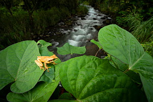 Masked treefrog (Smilisca phaeota) on leaves beside mountain stream. Arenal, Costa Rica. Controlled conditions.  -  Guy Edwardes