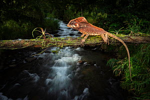 Helmeted iguana (Corytophanes cristatus) on fallen tree trunk over mountain stream. In cloud forest, Arenal, Costa Rica. Controlled conditions.  -  Guy Edwardes