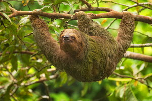 Brown-throated three-toed sloth (Bradypus variegatus) hanging from tree branch. Costa Rica.  -  Guy Edwardes