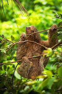 Brown-throated three-toed sloth (Bradypus variegatus) in rainforest. Costa Rica.  -  Guy Edwardes