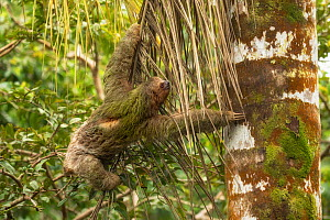 Brown-throated three-toed sloth (Bradypus variegatus) climbing tree. Costa Rica.  -  Guy Edwardes