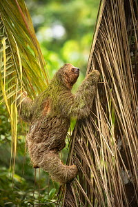 Brown-throated three-toed sloth (Bradypus variegatus) climbing. Costa Rica.  -  Guy Edwardes