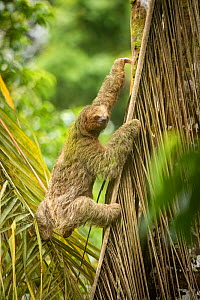 Brown-throated three-toed sloth (Bradypus variegatus) climbing up leaf. Costa Rica.  -  Guy Edwardes