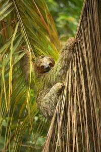 Brown-throated three-toed sloth (Bradypus variegatus). Costa Rica.  -  Guy Edwardes