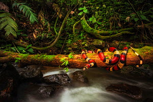 Milk snake (Lampropeltis triangulum) coiled around fallen tree, over stream in cloud forest. Arenal, Costa Rica. Controlled conditions.  -  Guy Edwardes