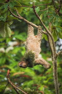 Brown-throated three-toed sloth (Bradypus variegatus) hanging from branch, scratching chin. Costa Rica.  -  Guy Edwardes