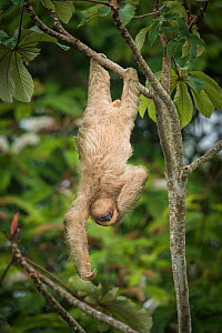 Brown-throated three-toed sloth (Bradypus variegatus) hanging from branch. Costa Rica.  -  Guy Edwardes