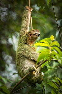 Brown-throated three-toed sloth (Bradypus variegatus). Manuel Antonio National Park, Costa Rica.  -  Guy Edwardes