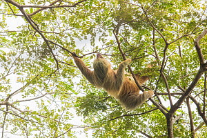 Hoffmann's two-toed sloth (Choloepus hoffmanni) climbing in trees. Manuel Antonio National Park, Costa Rica.  -  Guy Edwardes