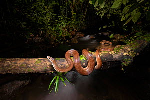 Rainbow boa (Epicrates cenchria) on log above river in cloud forest. Arenal, Costa Rica. Controlled conditions.  -  Guy Edwardes