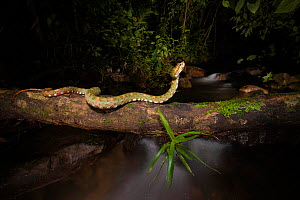 Eyelash pit viper (Bothriechis schlegelii) crossing over river in cloud forest. Arenal, Costa Rica.  -  Guy Edwardes
