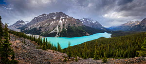 Peyto Lake surrounded by mountains and coniferous forest. Banff National Park, Canadian Rockies, Alberta, Canada. June 2018.  -  Guy Edwardes