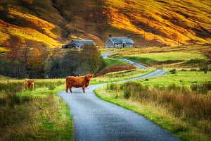 Highland cattle in valley, one standing on road, crofts in background. In evening light, Glen Lyon, Perthshire, Scotland, UK. October 2019.  -  Guy Edwardes