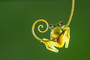 Emerald glass frog (Espadarana prosoblepon). Arenal, Costa Rica.  -  Guy Edwardes