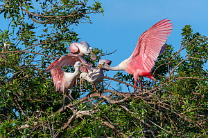 Roseate spoonbill (Platalea ajaja), immature birds begging for food from adult on right. St. Johns Management Area, Florida, USA. April.  -  John Shaw