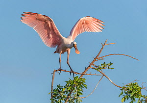 An immature roseate spoonbill (Platalea ajaja) at its nesting colony site, in early morning light. St. Johns Management Area, Florida, USA, April.  -  John Shaw