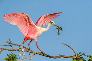 Roseate spoonbill (Platalea ajaja) at its nesting colony site, in early morning light. St. Johns Management Area, Florida, USA, April.  -  John Shaw