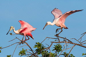 Two roseate spoonbills (Platalea ajaja) nesting colony site, in early morning light. Adult left, immature right. St. Johns Management Area, Florida, USA. March.  -  John Shaw