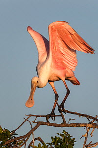 Roseate spoonbill (Platalea ajaja) at its nesting colony site, in early morning light. St. Johns Management Area, Florida, USA. March.  -  John Shaw
