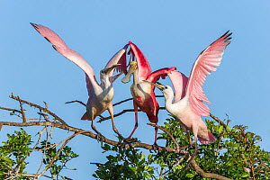 Roseate spoonbill adult (Platalea ajaja) with large young on either side, begging for food. St. Johns Management Area, Florida, USA. March.  -  John Shaw