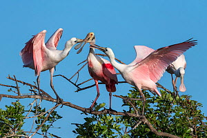 Roseate spoonbill adult (Platalea ajaja) feeding large young on either side. St. Johns Management Area, Florida, USA. March.  -  John Shaw