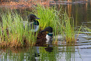 Common loon (Gavia immer) on nest with mate nearby. British Columbia, Canada. June.  -  John Shaw