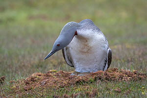 Red-throated loon (Gavia stellata) on nest with eggs showing, Spitsbergen, Norway, July.  -  John Shaw