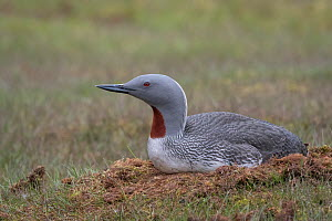 Red-throated loon (Gavia stellata) on nest, Spitsbergen, Norway, July.  -  John Shaw
