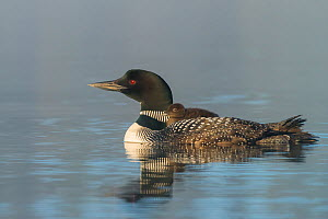 Common loon (Gavia immer) carrying chick on its back. British Columbia, Canada. June.  -  John Shaw