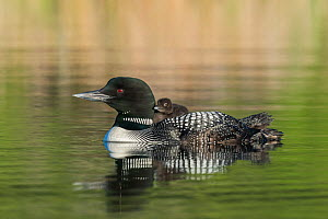 Common loon (Gavia immer) carrying a chick on its back. British Columbia, Canada. June.  -  John Shaw