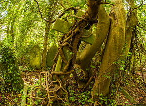 Tombstone being strangled by ivy in Arnos Vale Cemetery, now disused, overgrown and a refuge for nature. Bristol, England, UK, June 2019,  -  John Waters