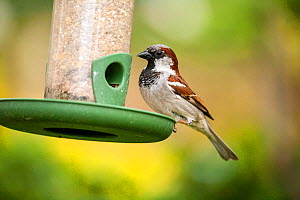House Sparrow (Passer domesticus) male on bird feeder, Bristol, UK, May.  -  John Waters